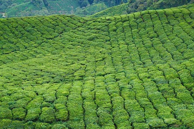Zdrowotne działanie herbaty, pola herbaty